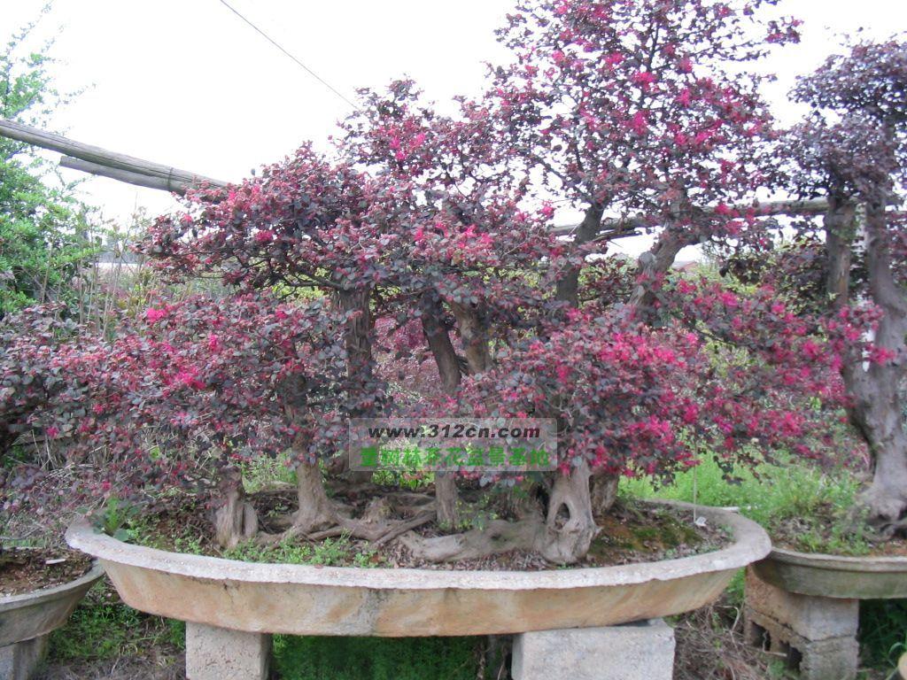 红花继木盆景;;; 红花继木盆景图片|苗木|苗木图库|597苗木网;; 供应