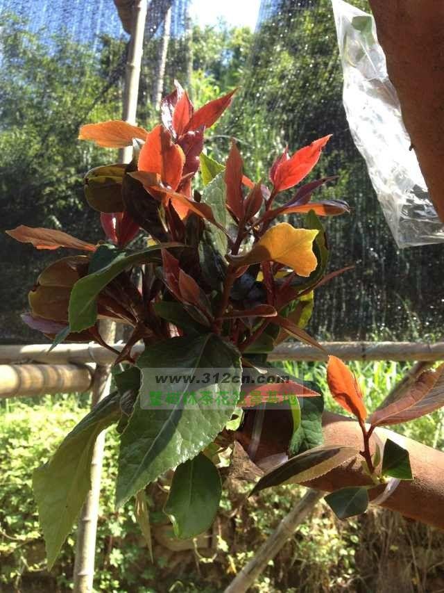 福建三明油茶树嫁接茶花例
